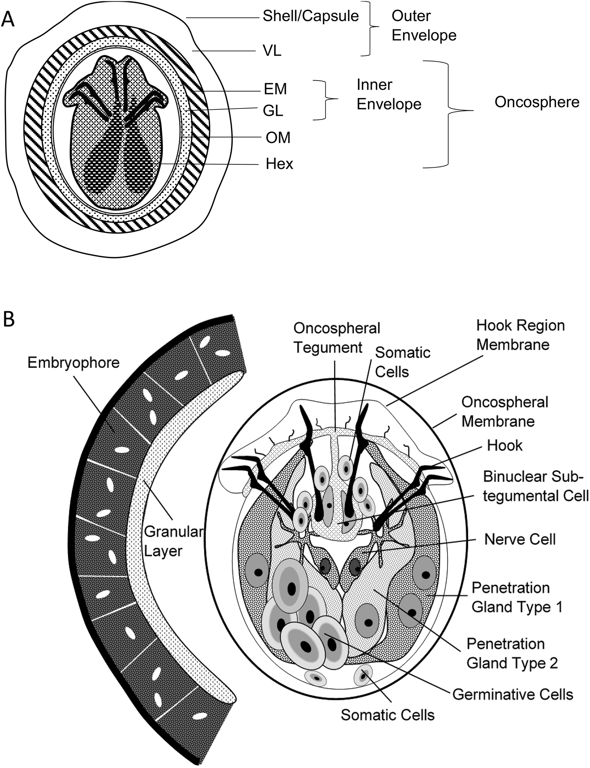 oncosphere platyhelminthes
