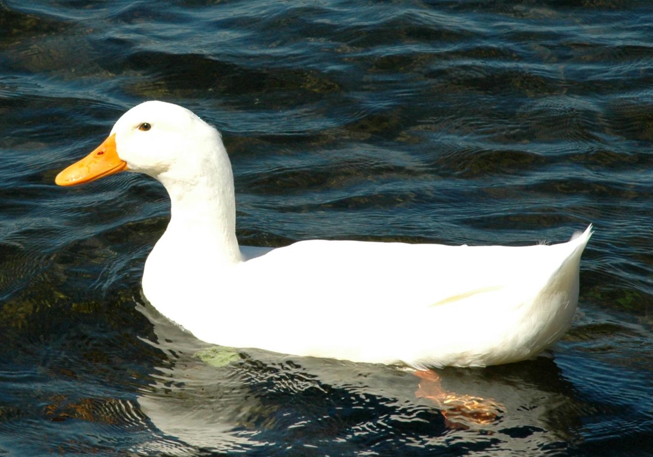 FileWhite duckjpg  Wikimedia Commons