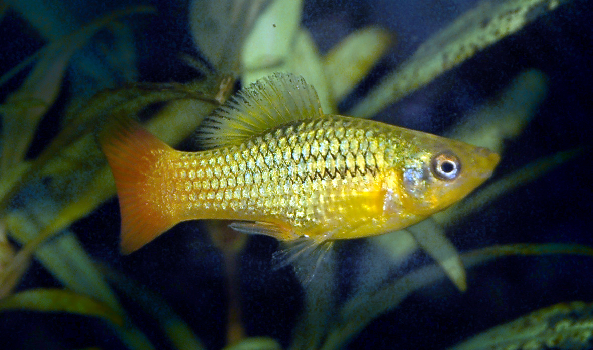 A Platy - the second of our two best recommendations for goldfish tank mates