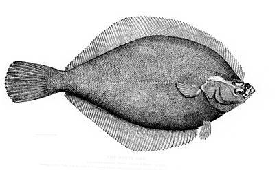 Yellowtail flounder - Wikipedia