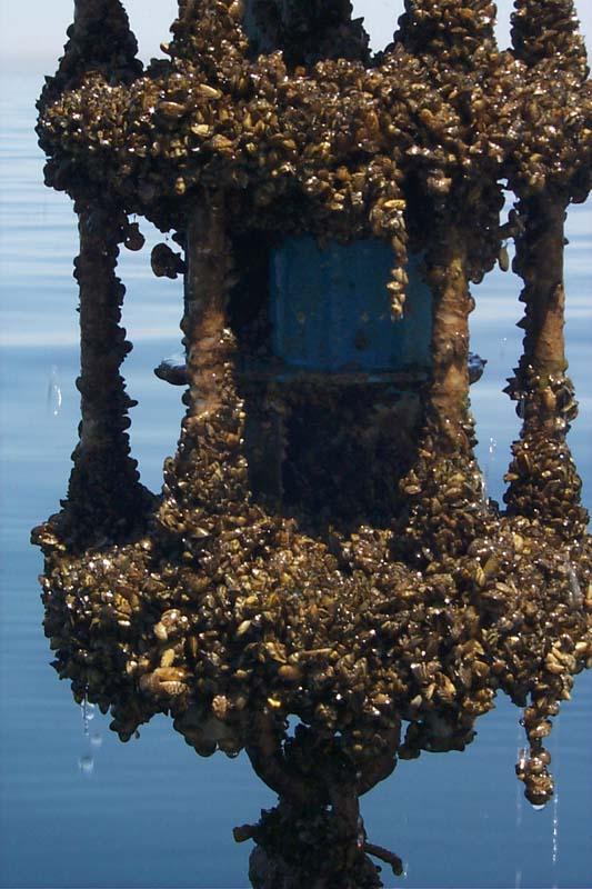 Zebra mussel GLERL 3.jpg