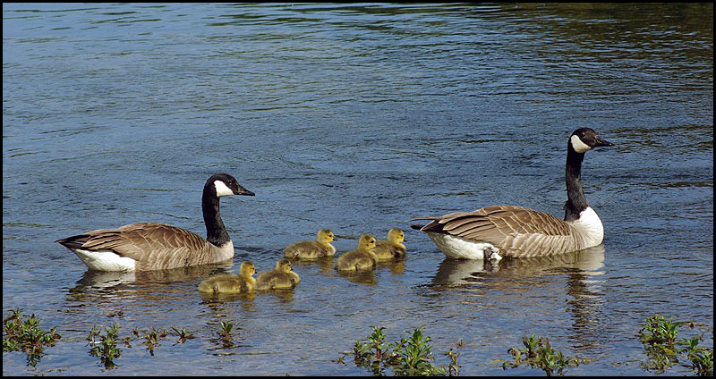 official photos f63fa 267eb File:'Vogel-Branta canadensis-Canadese gans-01.jpg ...