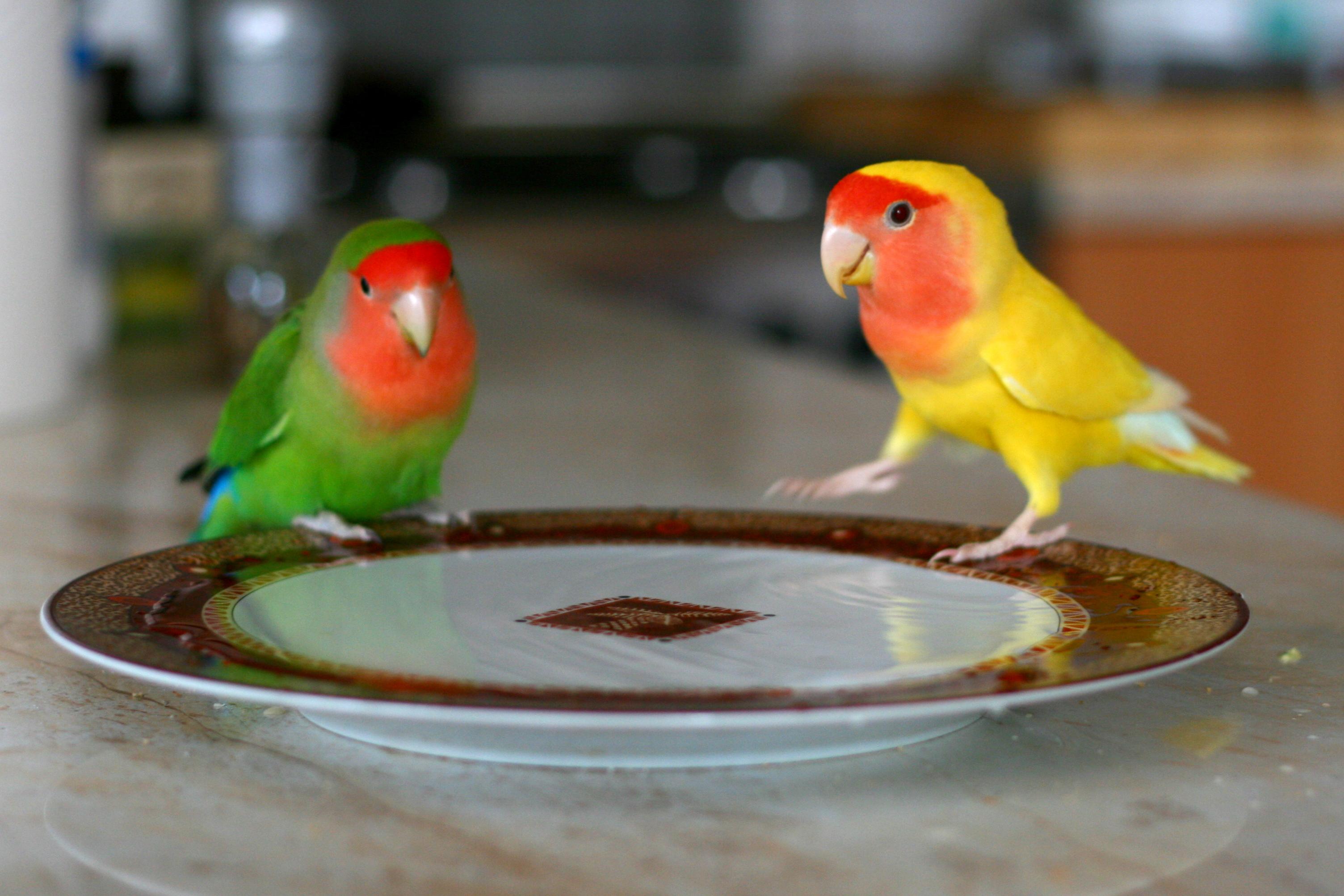 File:Agapornis roseicollis- Peach-faced Lovebird and ...