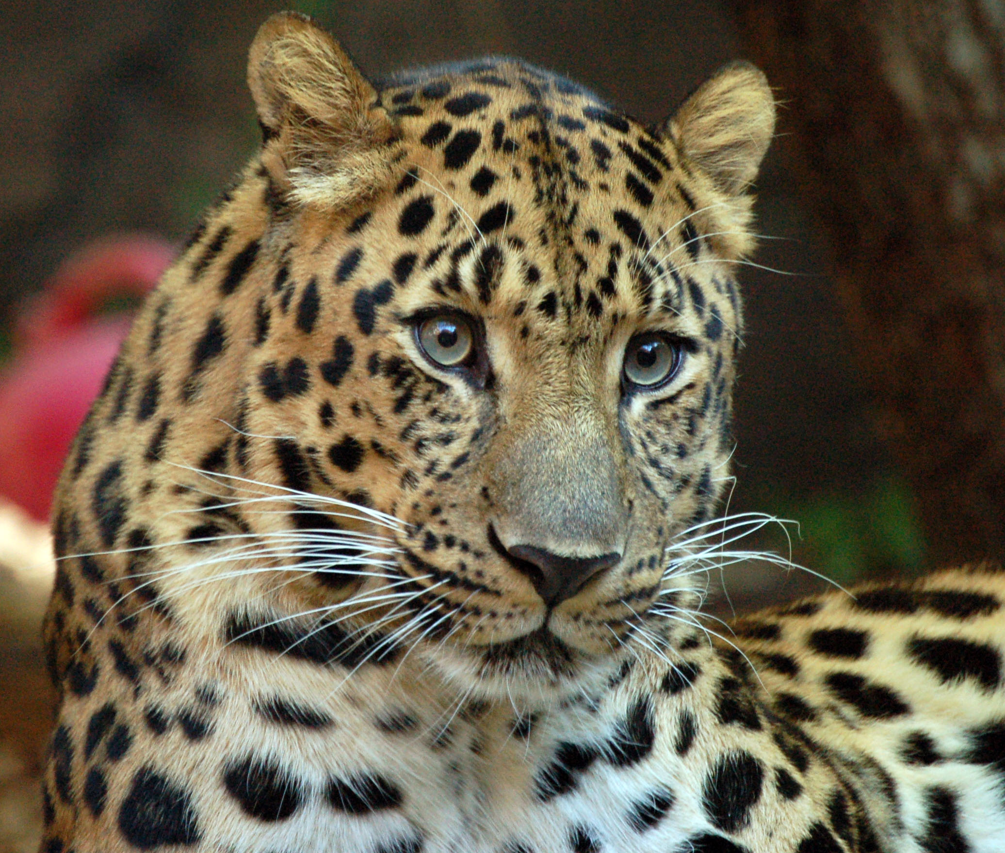Critically endangered Amur leopard only 35 left in wild ...