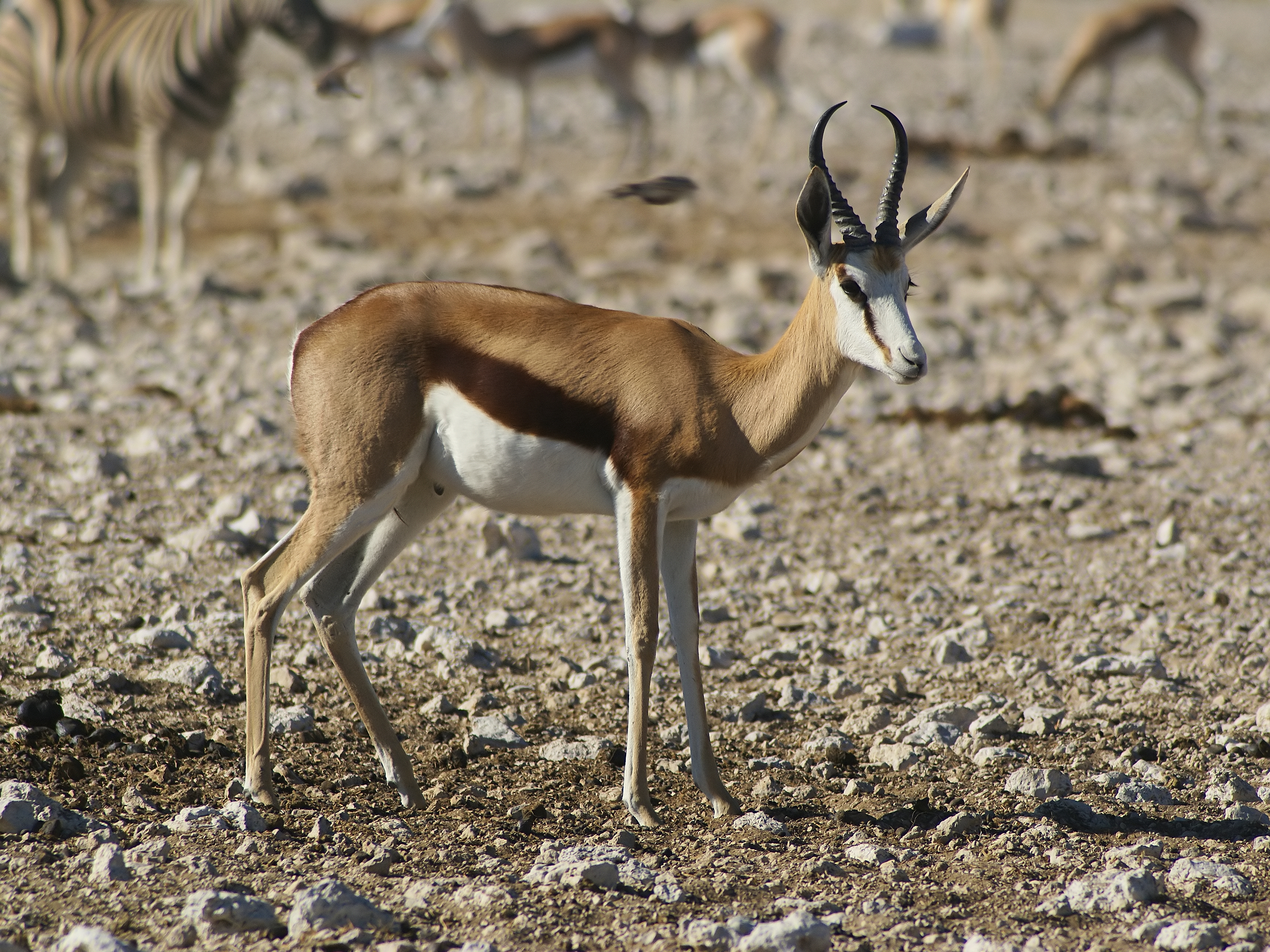File:Antidorcas marsupialis 2.jpg - Wikimedia Commons