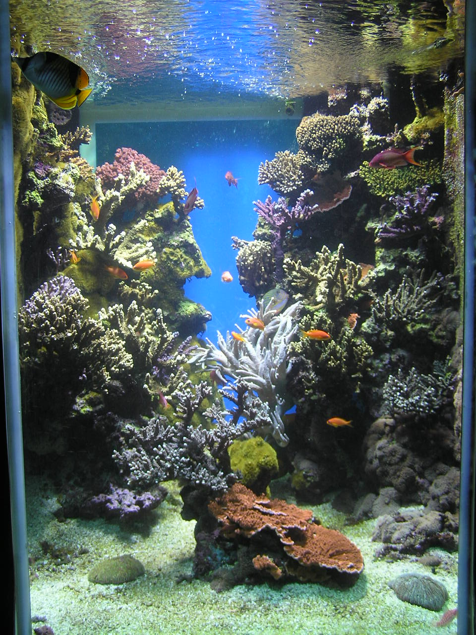 Reef aquarium wikipedia for Marine fish tanks