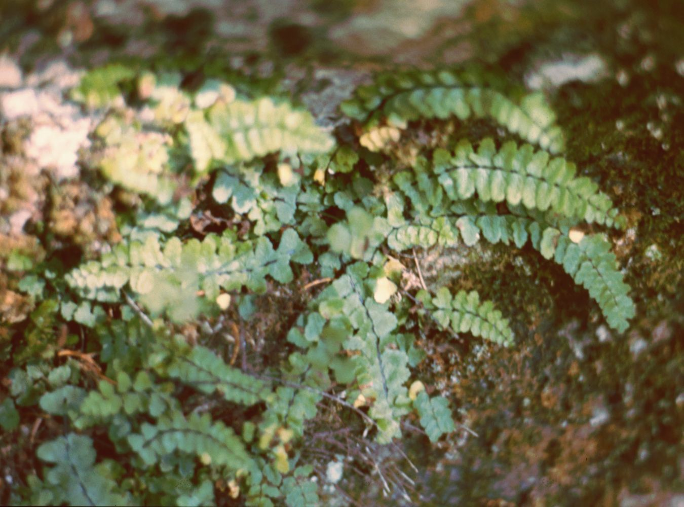 Asplenium Trichomanes Wikipedia File:asplenium-trichomanes