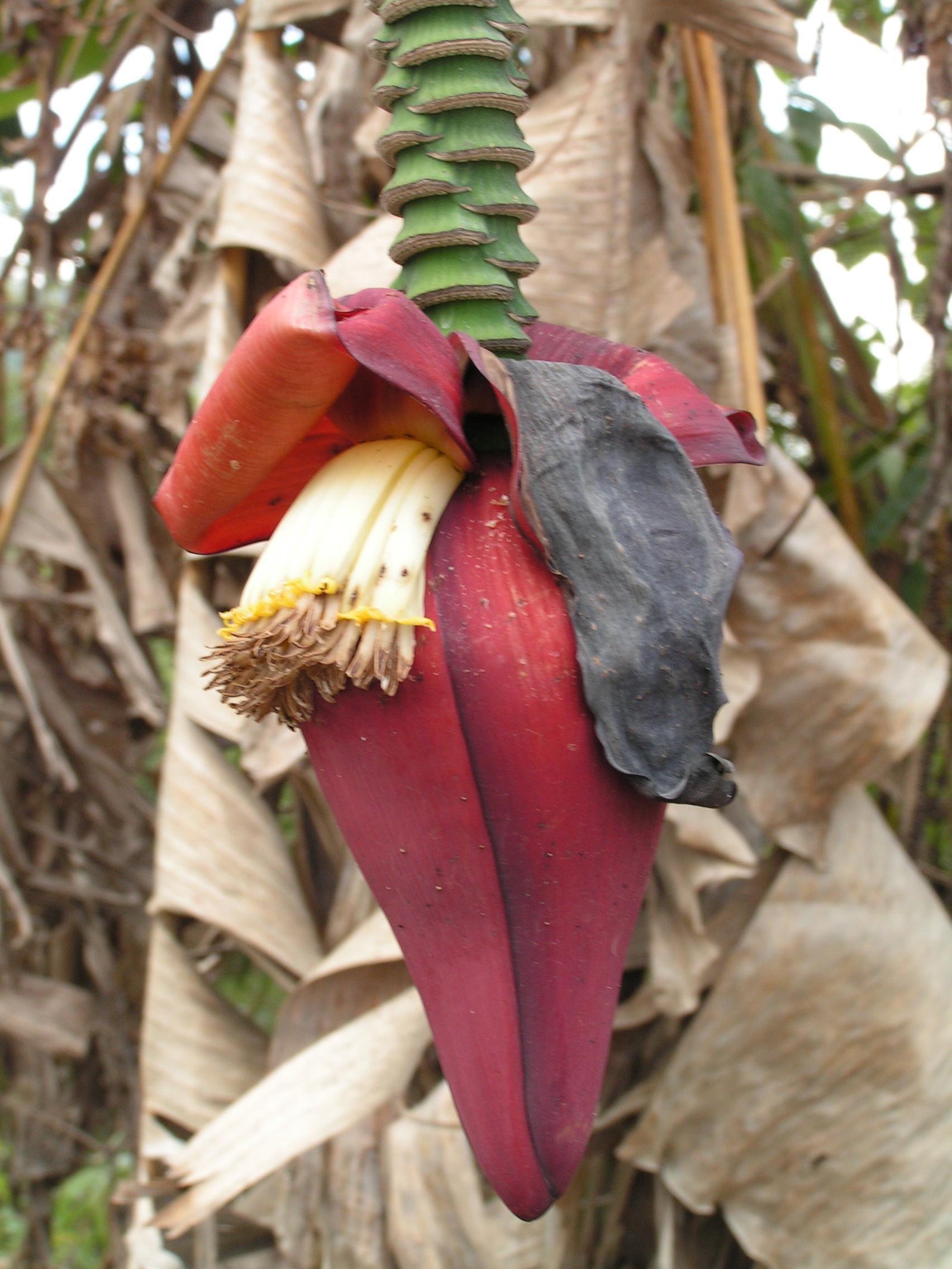 File Banana Tree Flower Wikimedia mons