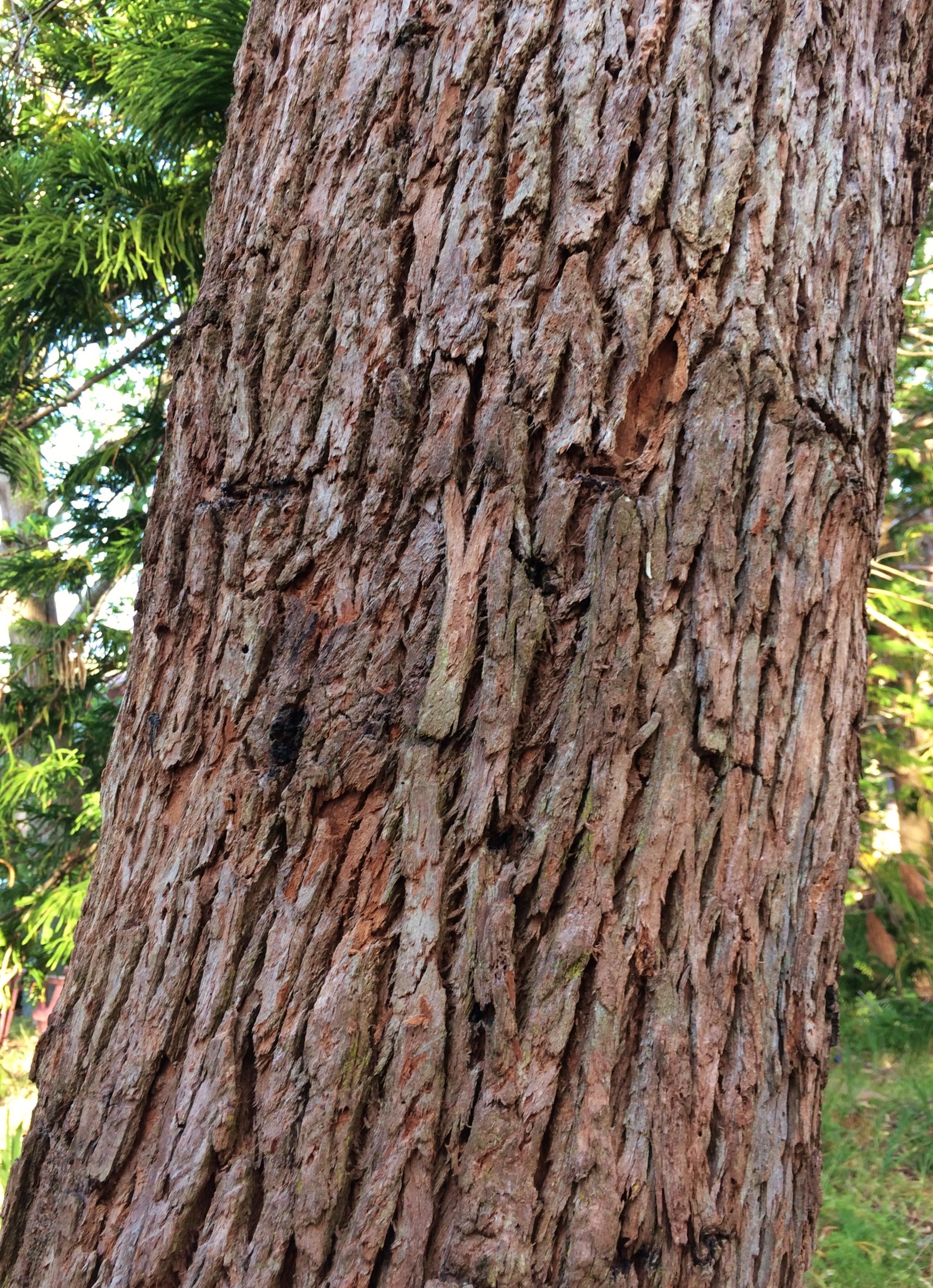 Eucalyptus Botryoides Wikiwand