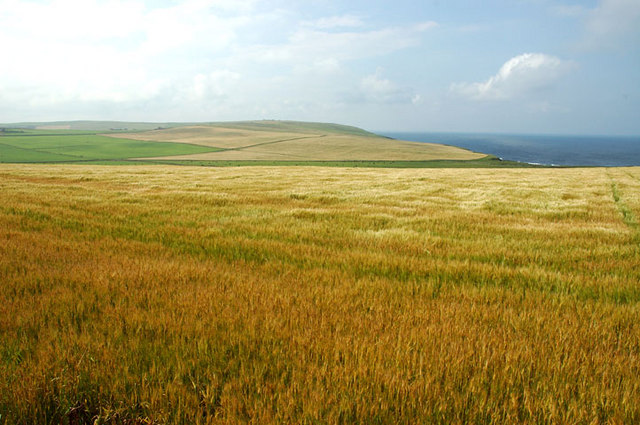 File:Barley field above Swannay Farm - geograph.org.uk - 234641.jpg