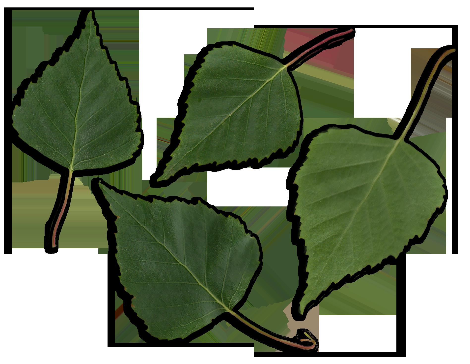 Birch Or Maple Kitchen Cabinets