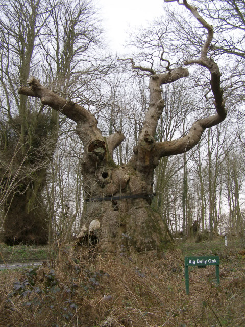 File:Big Belly Oak, Savernake Forest - geograph.org.uk - 153419 ...