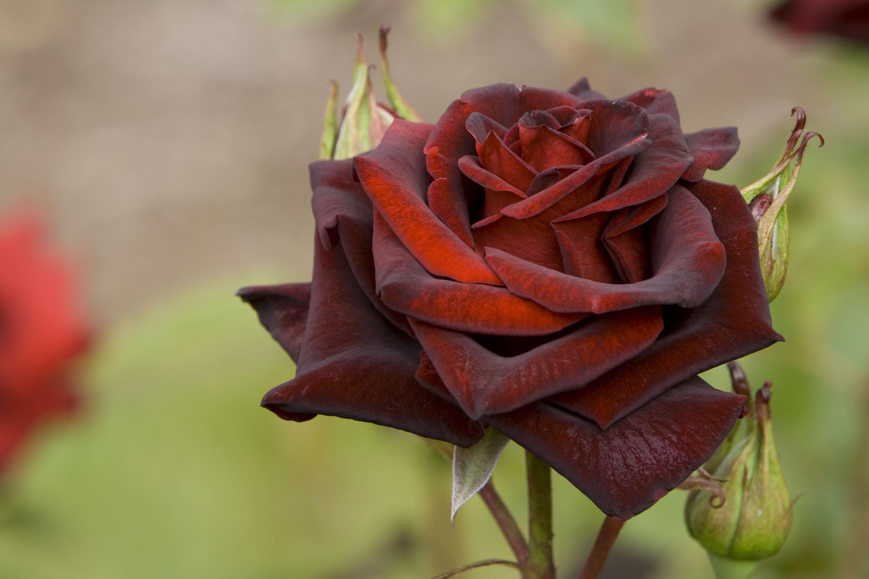 File:Black Rose2.jpg
