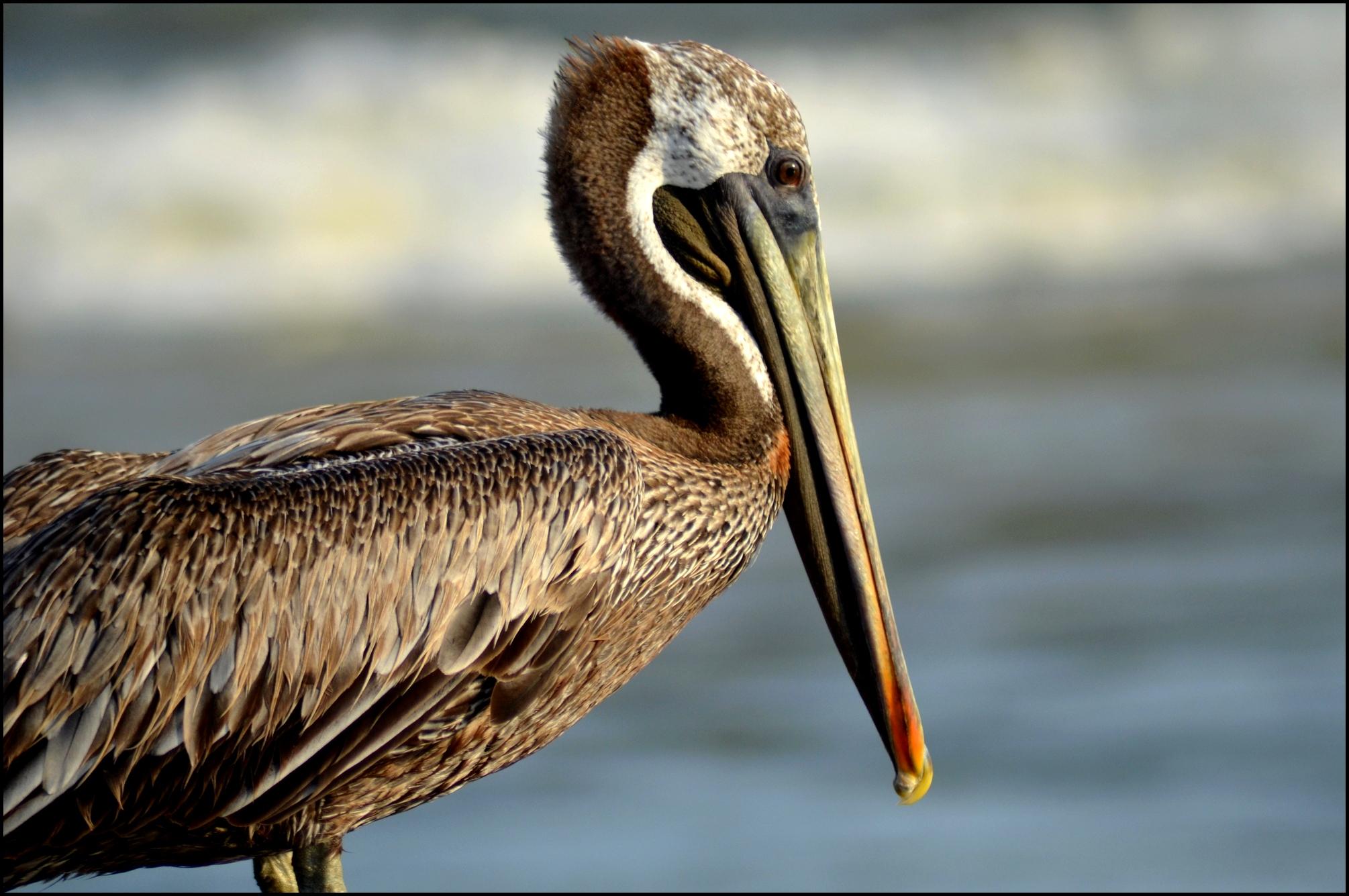 File Brown Pelican Pelecanus Occidentalis Jpg Wikimedia Commons