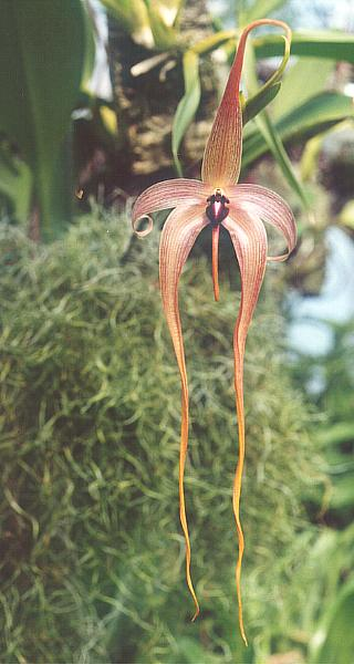 File:Bulbophyllum echinolabium.jpg