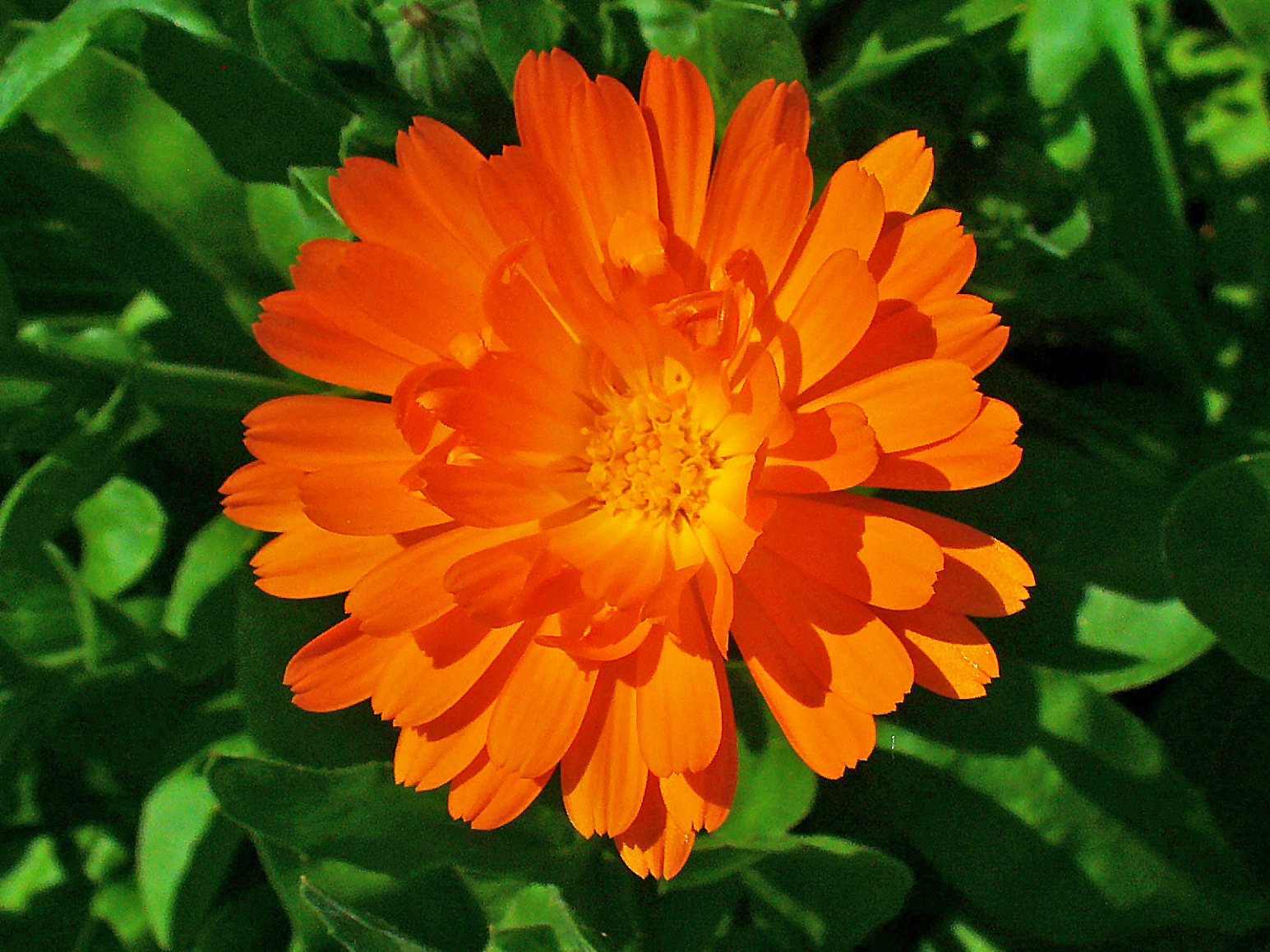 file calendula officinalis 002 jpg wikimedia commons. Black Bedroom Furniture Sets. Home Design Ideas