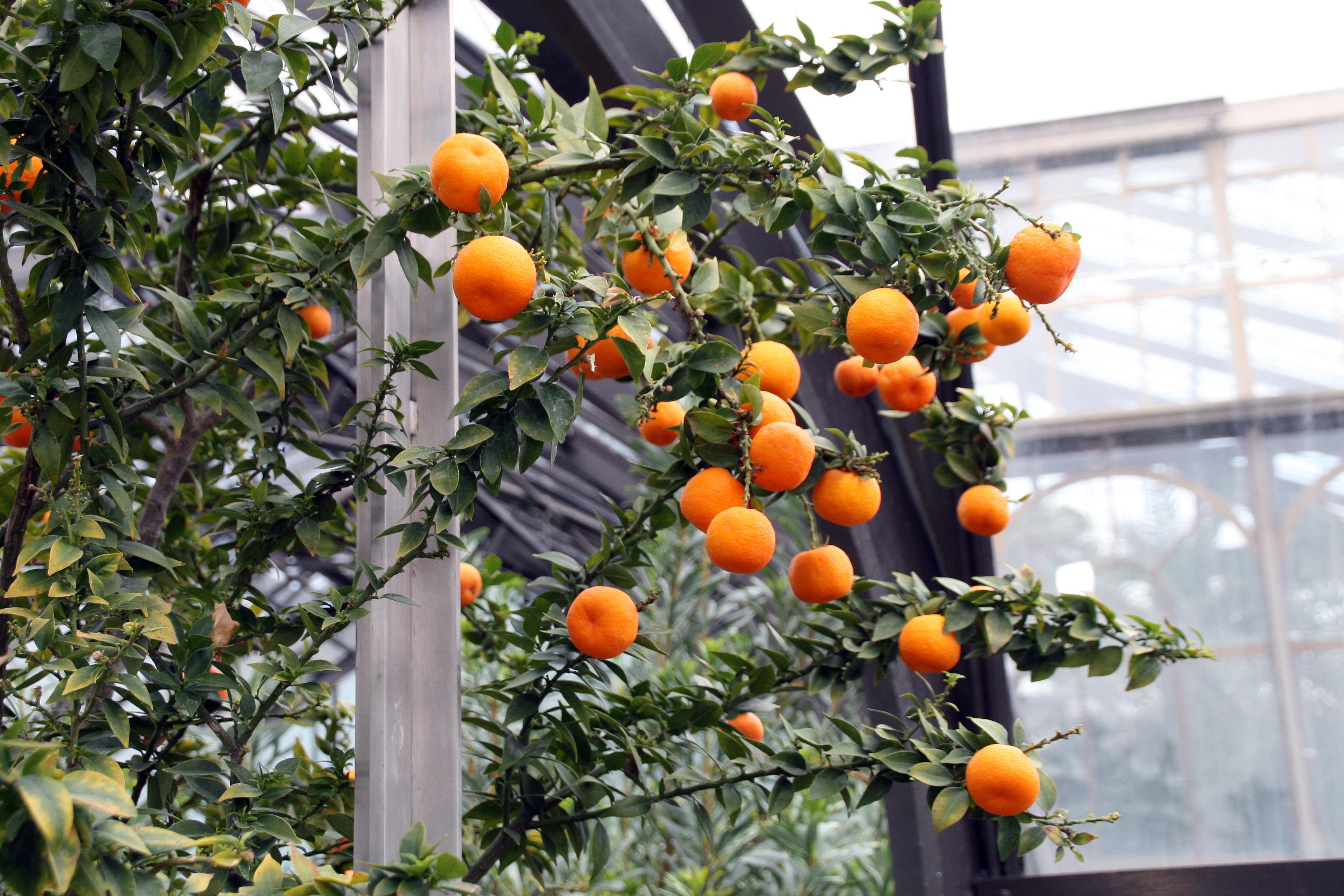File citrus aurantium var myrtifolia chinotto for Citrus myrtifolia