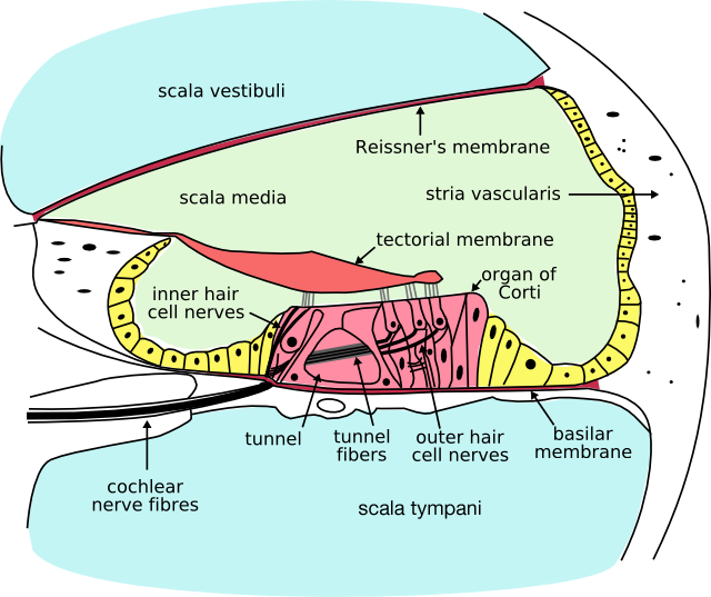 Cochlea cross-section