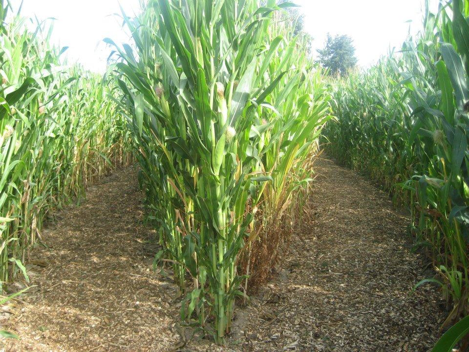 Corn maze, cornwall, things to do in Cornwall, Family fun
