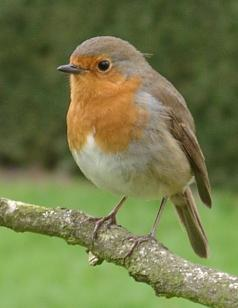 Crvendać (Erithacus rubecula)Sorry, your browser either has JavaScript disabled or does not have any supported player. You can download the clip or download a player to play the clip in your browser.