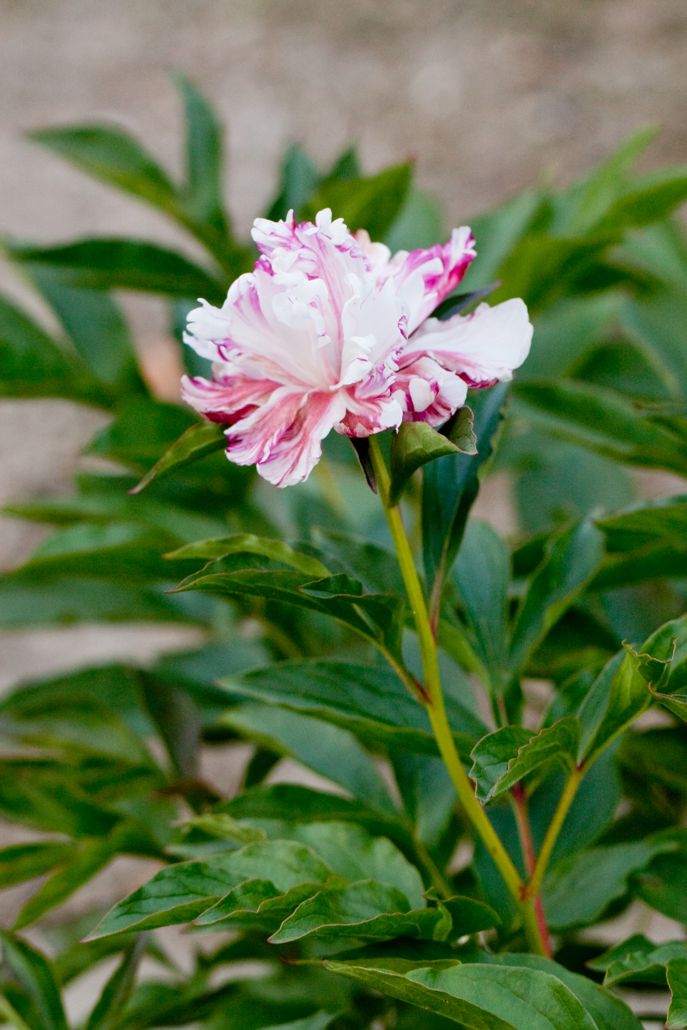 fileflower herbaceous peony quotqilinmaruquot flickr