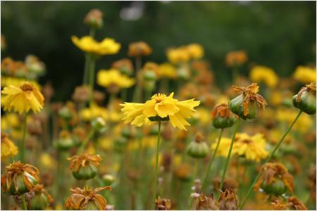 پرونده:Flower Shiraz.jpg