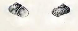 Gibbula drepanensis 001.jpg