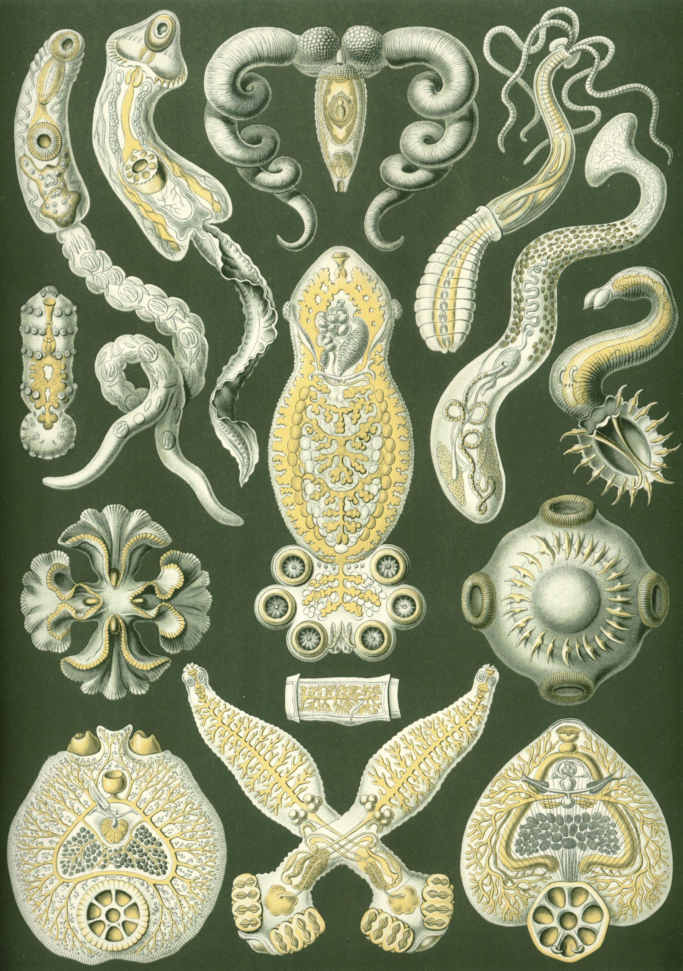 Haeckel Platodes.jpg
