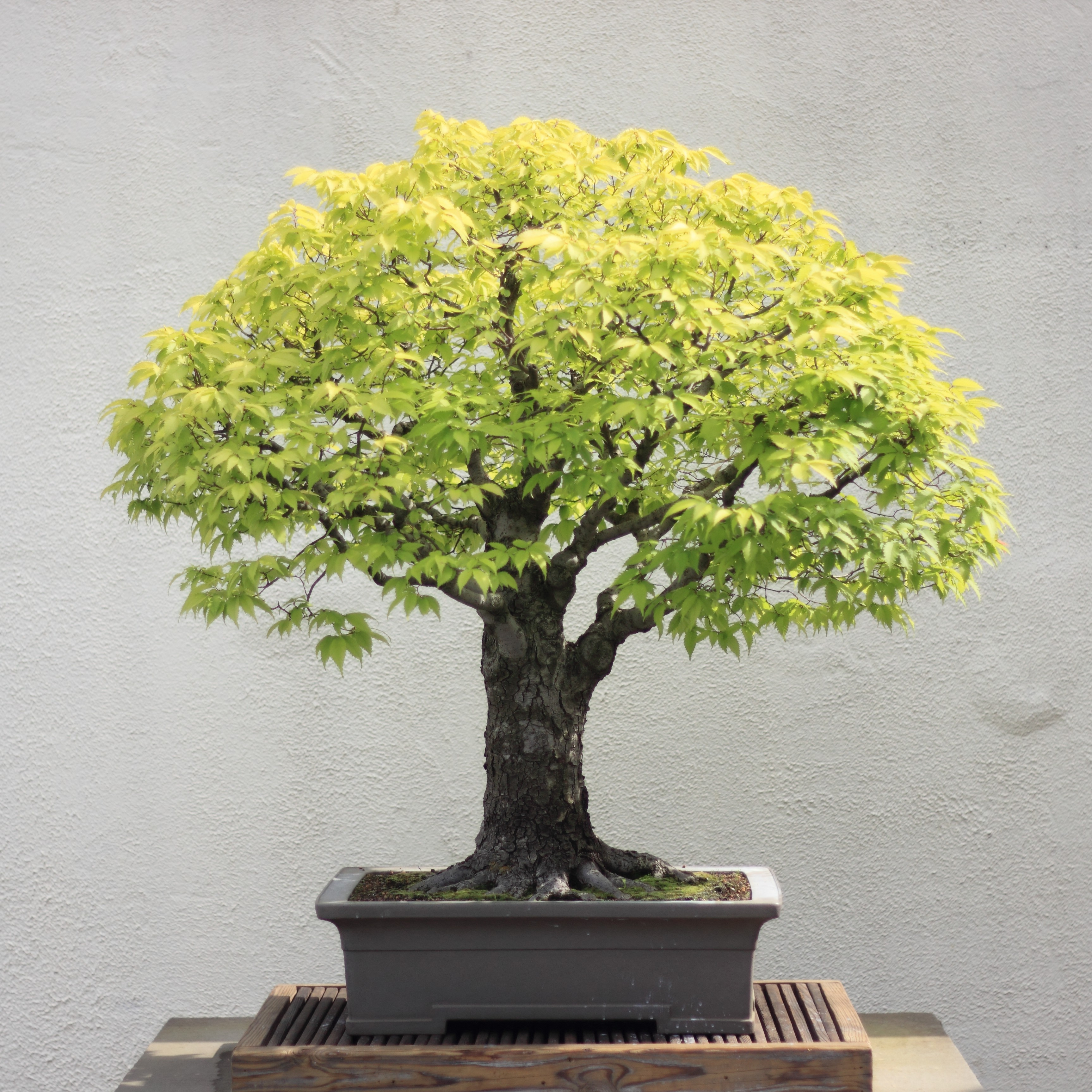 Japanese Style Interior File Japanese Zelkova Bonsai 16 30 April 2012 Jpg