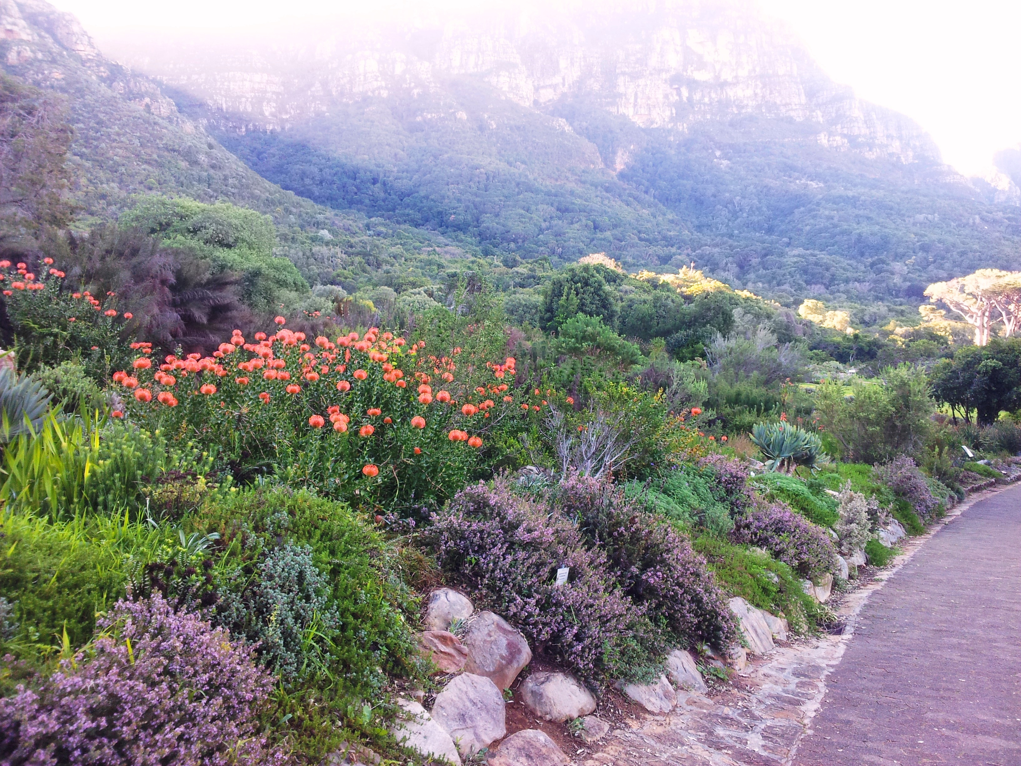 kirstenbosch features flora indigenous to the cape region such as sugarbushes pincushions and