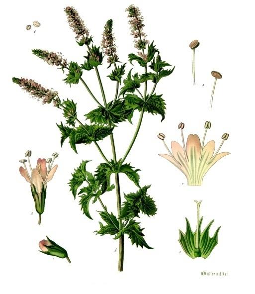 Mentha viridis - Köhler–s Medizinal-Pflanzen-096.jpg