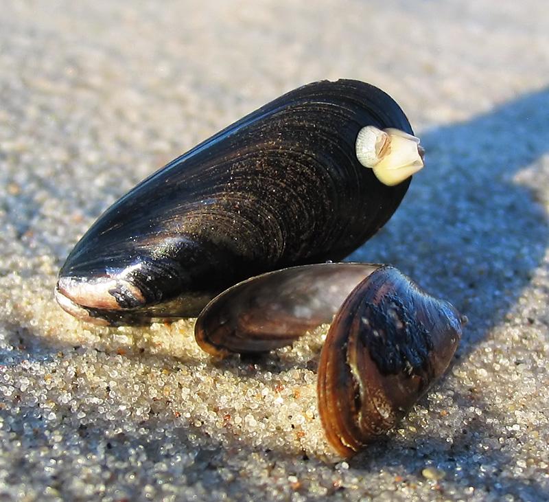 Mytilus Edulis Habitat Two Shells of Mytilus Edulis