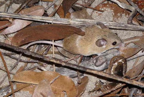 The average litter size of a Desert pygmy mouse is 4