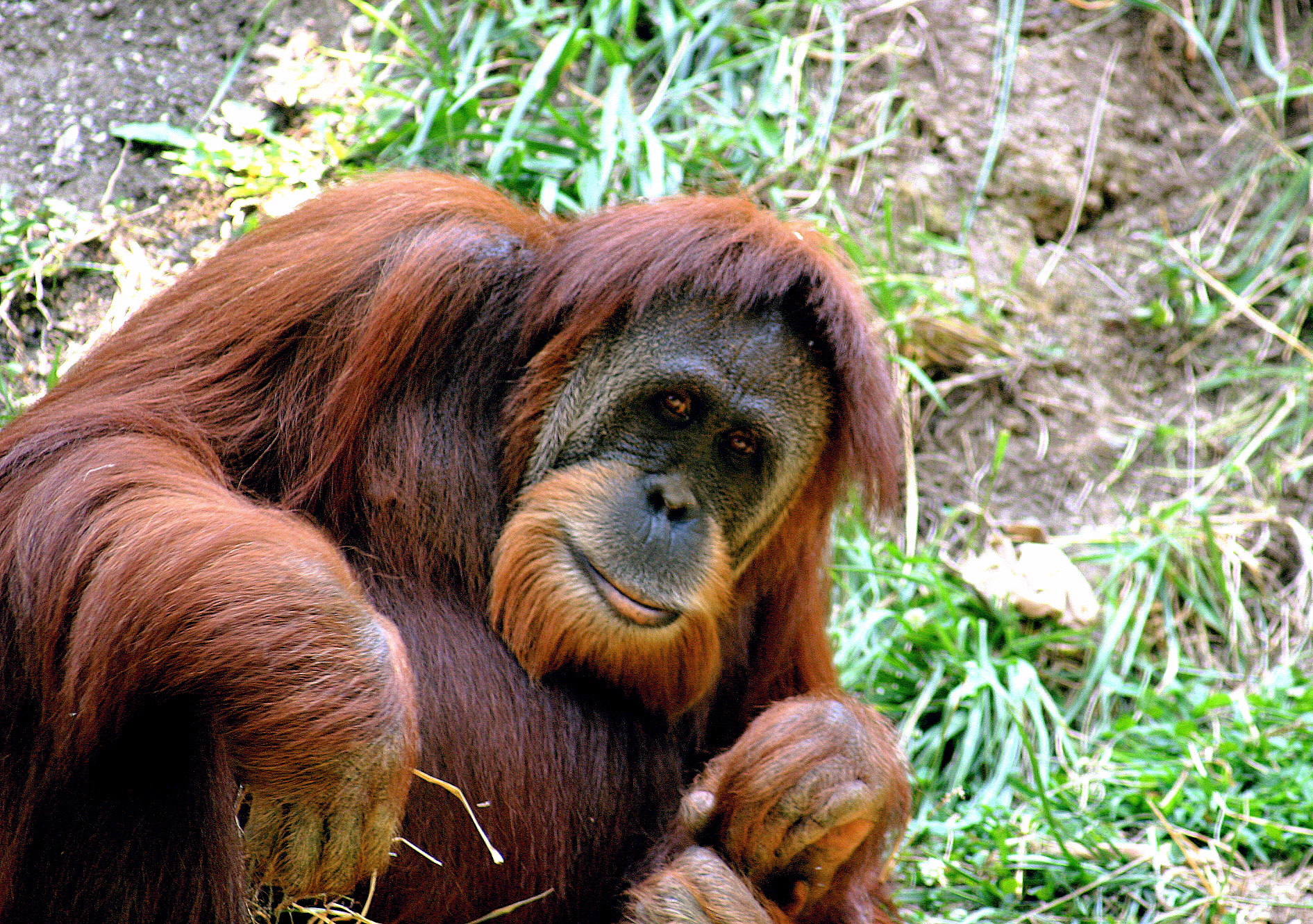 Image result for orangutan sumatera