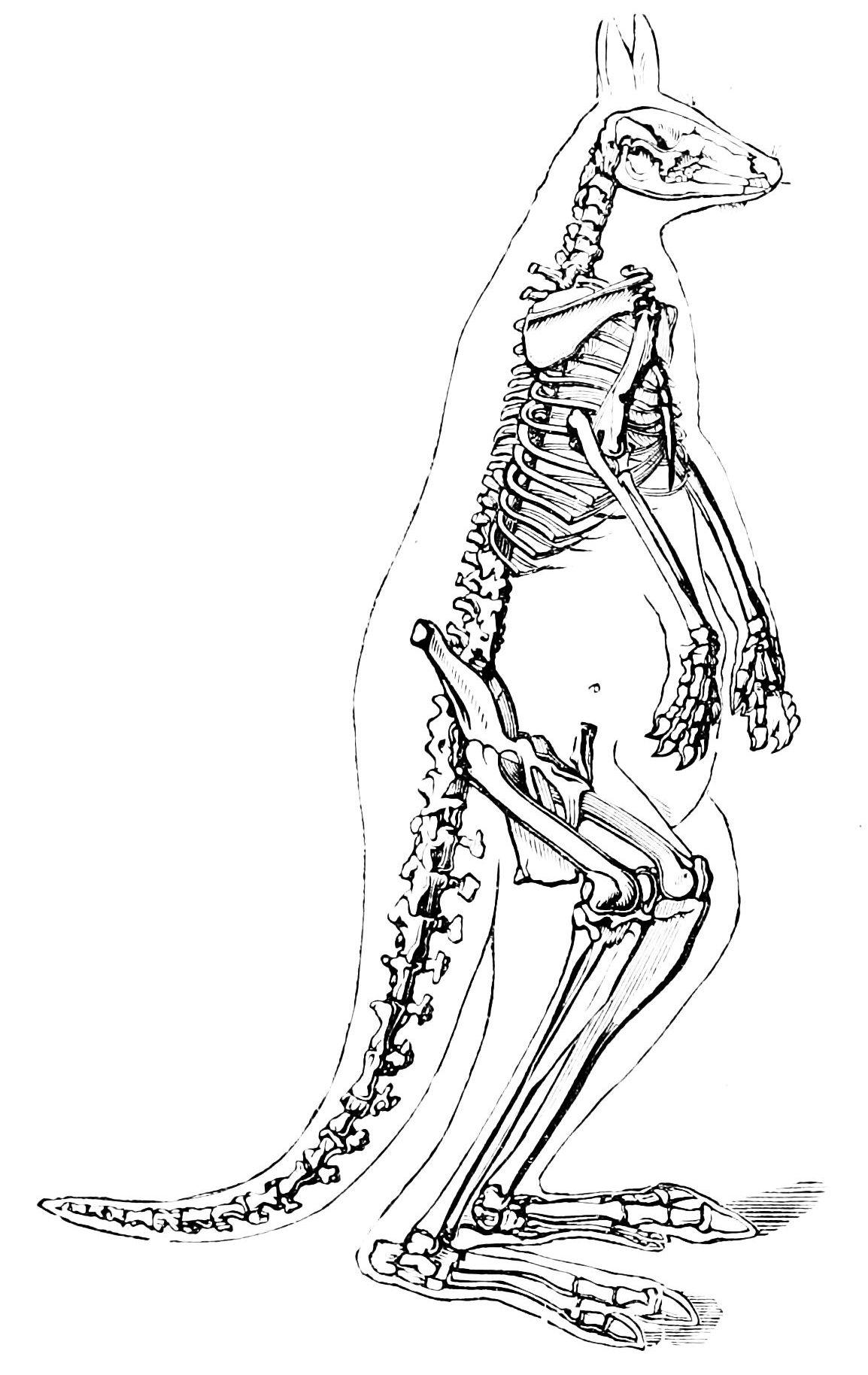 Kangaroo Skeleton Diagram