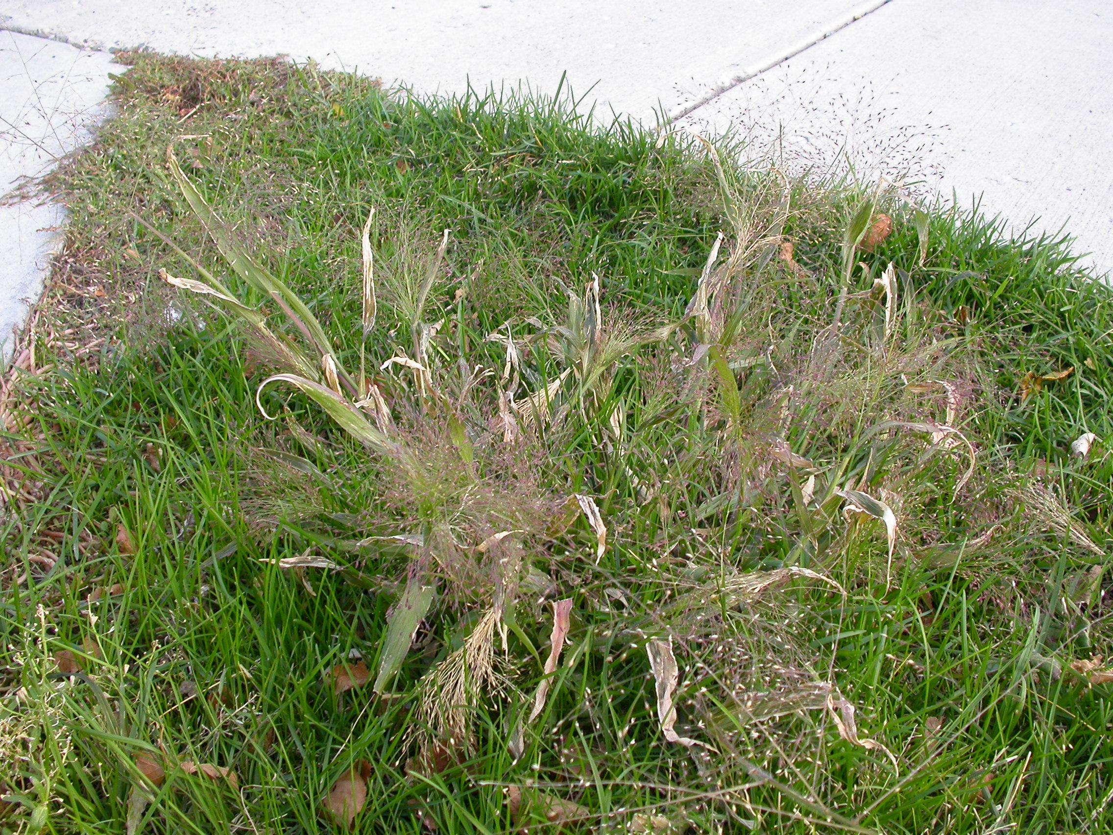 witchgrass