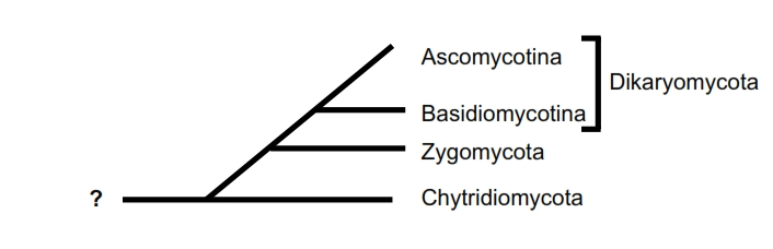 Phylogenetic tree of True Fungi