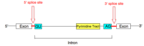 Splice sites of mRNA precursors