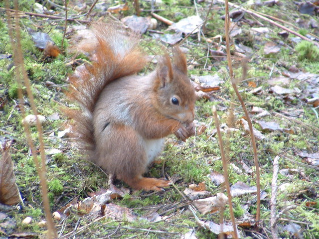 Red squirrel feeding, Formby nature reserve - geograph.org.uk - 376405