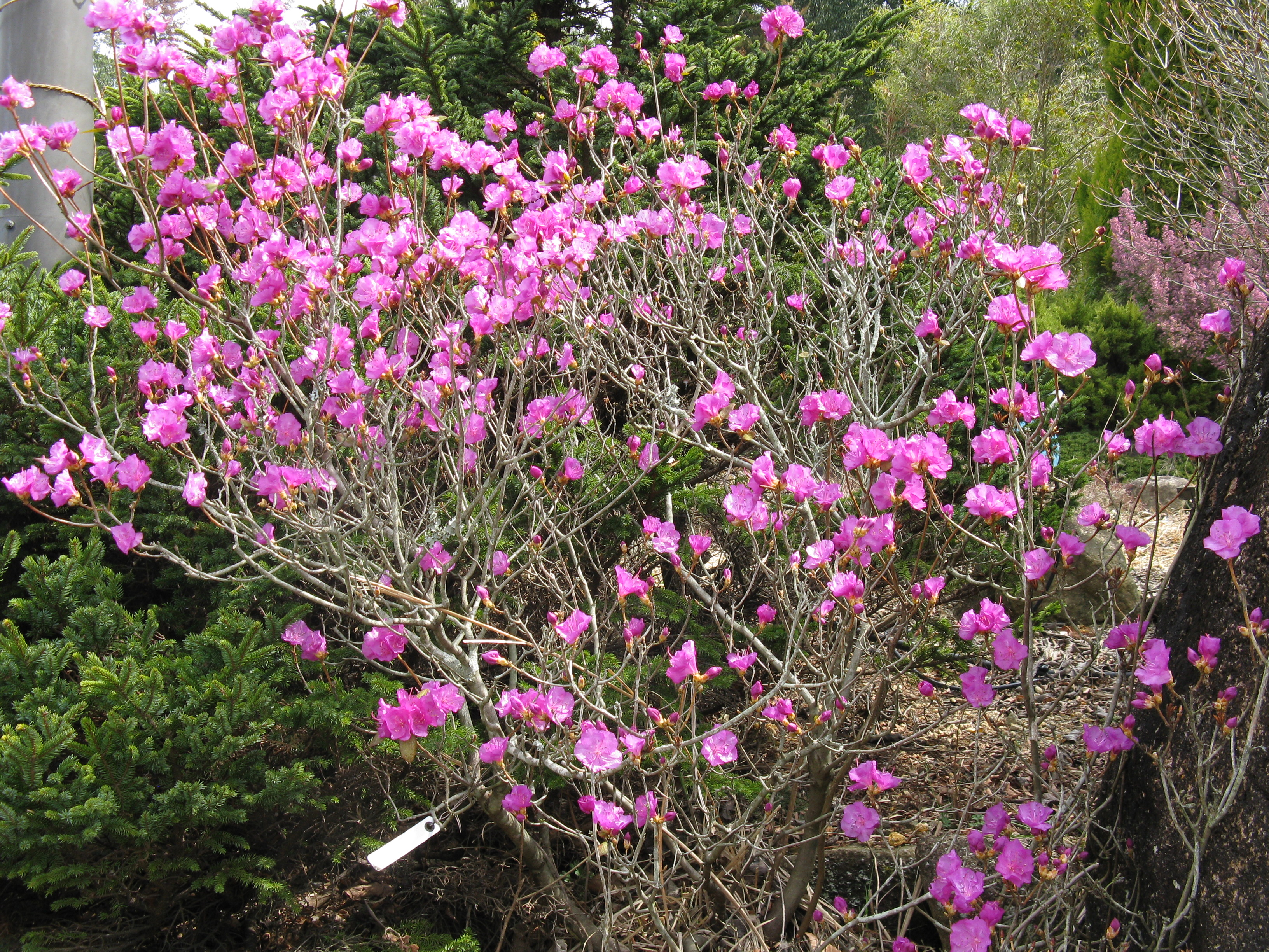 rhododendron фото