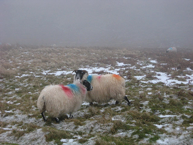 File:Sheep in the mist - geograph.org.uk - 657204.jpg
