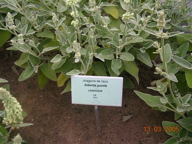 File sideritis pumila chagorra de risco jpg wikimedia for Plantas de un jardin botanico