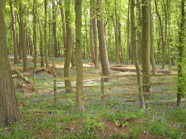 Spring bluebells in Pollok park - geograph.org.uk - 822197