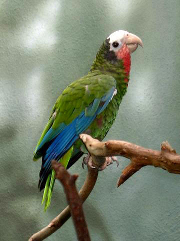 Ficheiro:Stavenn Amazona leucocephala 00.jpg