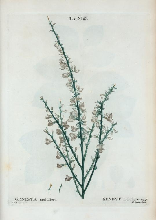 Giesta-branca