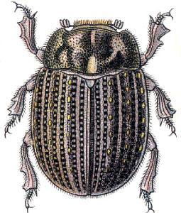 Illustration von Trox sabulosus aus Reitters Die Käfer des Deutschen Reiches