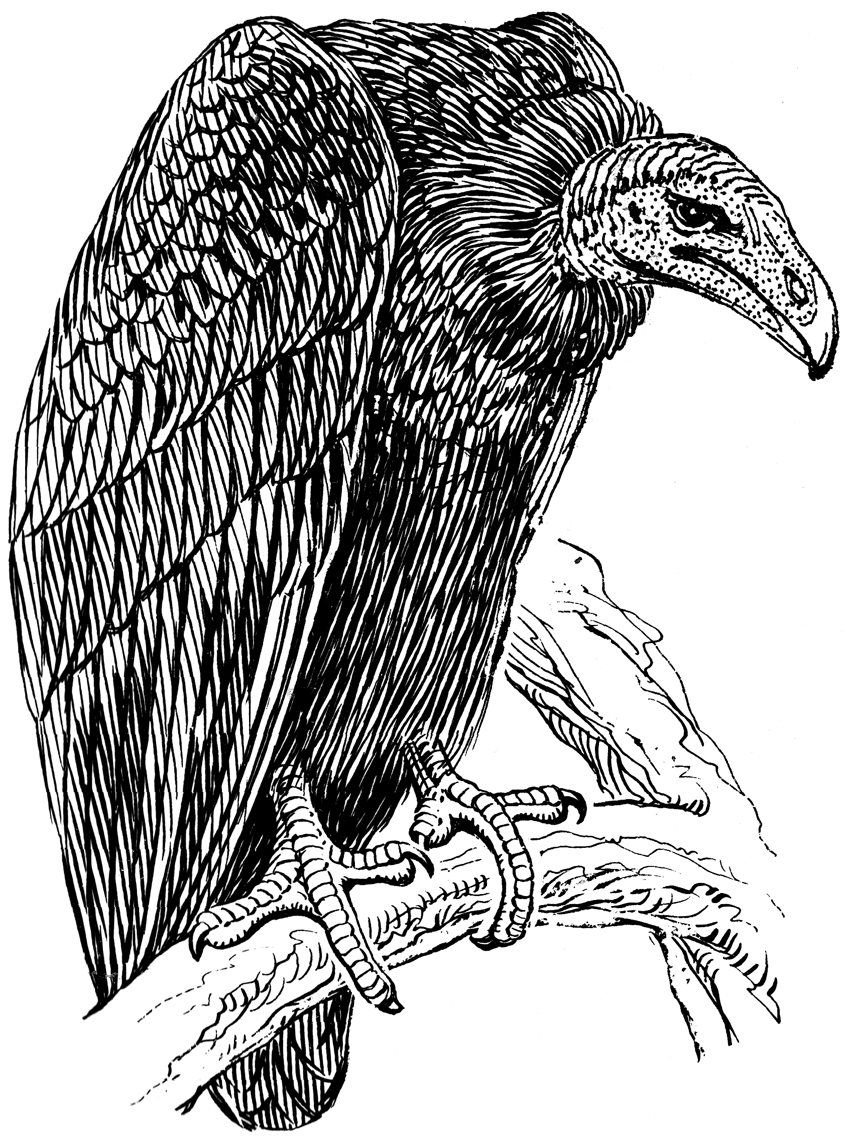 Vulture Line Drawing File:Vulture (PSF).png...