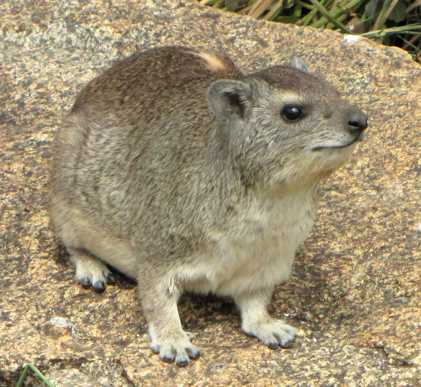Yellow-spotted_Rock_Hyrax.jpg