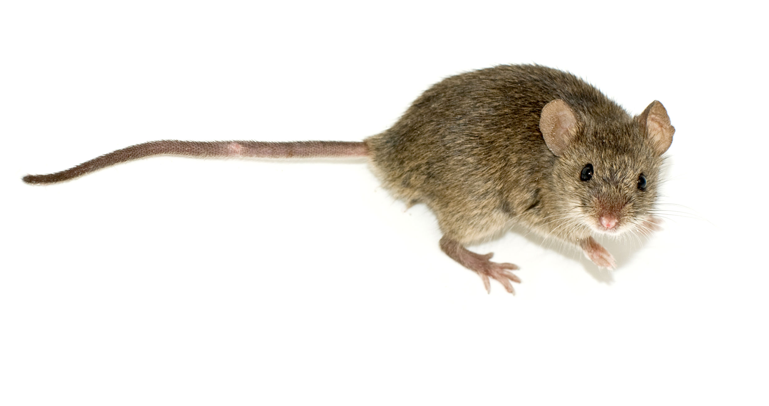 a photograh of a brown mouse