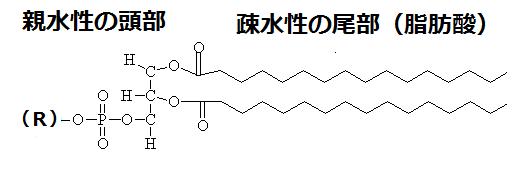 リン脂質の基本構造(ぱた)